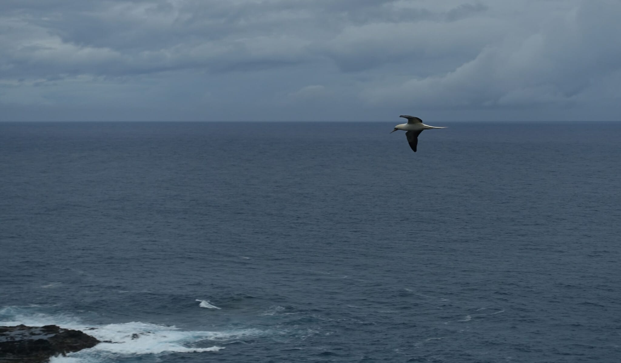 Red footed booby above the ocean at Kilauea National Wildlife Refuge