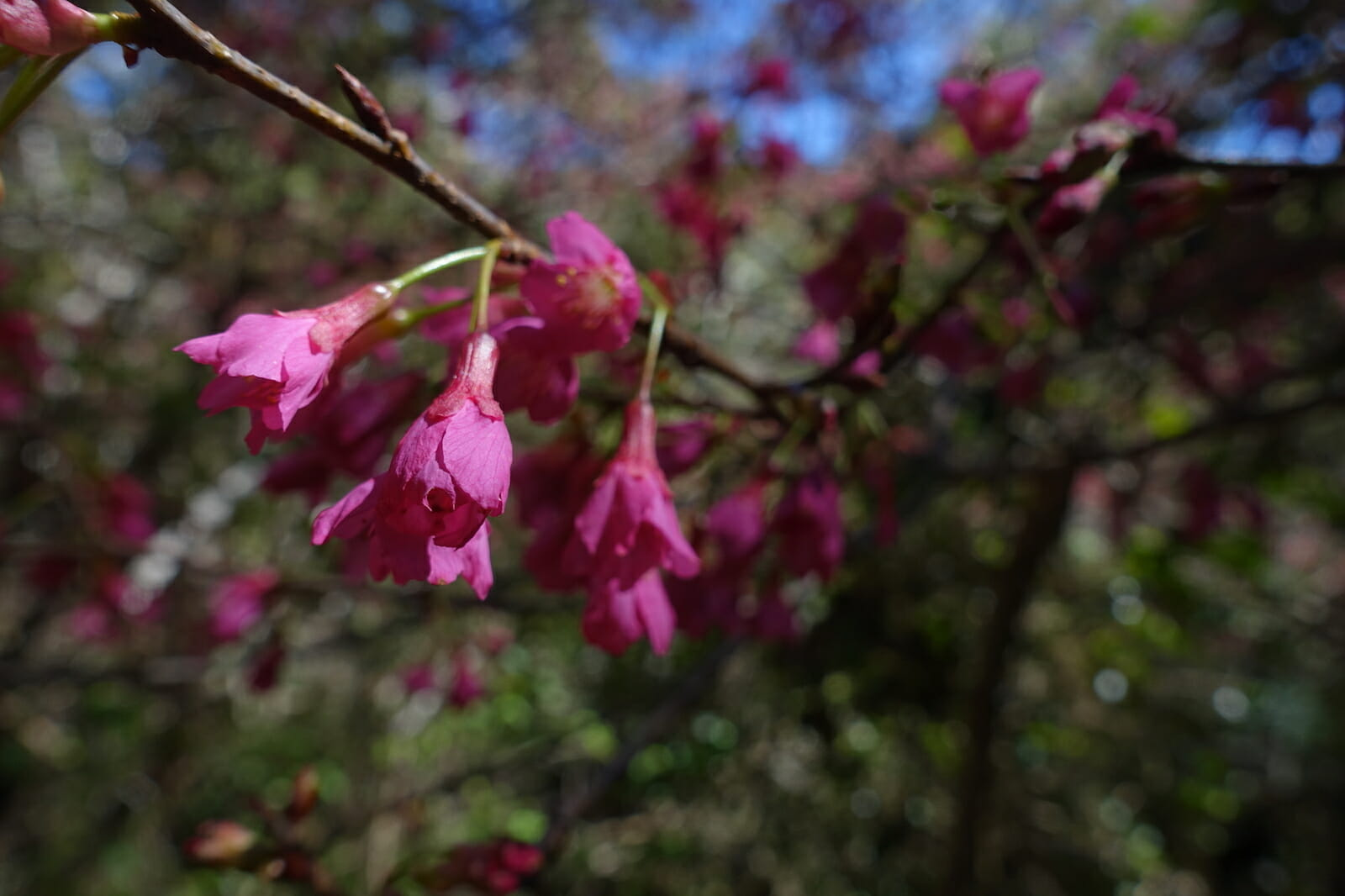 Pink Flowers on the Canyon Trail