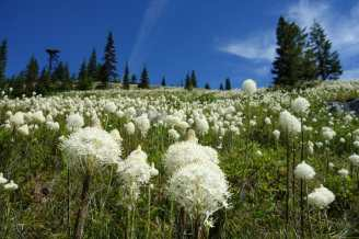 Beargrass on Granite Mountain