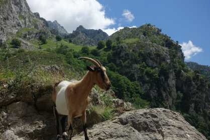 A goat stands along a rock, with mountains and a high pasture in the background, along the Cares Gorge trail.