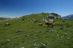 Cows graze in a mountain pasture