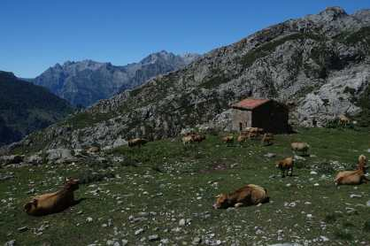 with mountains and a stone building in the background, several cattle graze in a rocky pasture