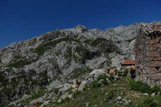 Next to a stone building, two cattle look on, with several other cattle and mountains in the background.