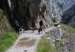 Five goats play and cross the Cares Gorge trail, in different to two hikers in their midst.