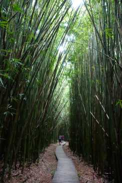 Bamboo forest, Pipiwai Trail, Haleakala National Park, Maui