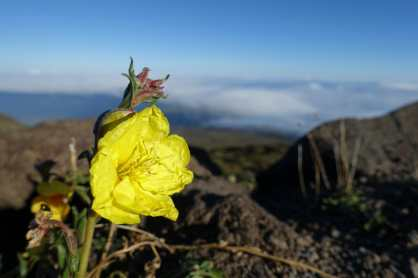 flower on Haleakala