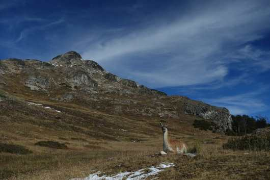 Guanaco laying down with a peak behind it