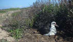 Albatross nesting at Ka'ena Point