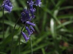 purple flowers at Corrieshalloch Gorge