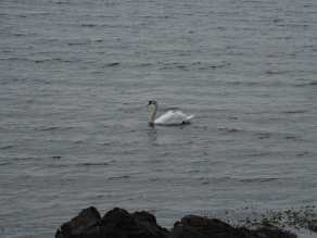 Gary the swan at Laphroaig