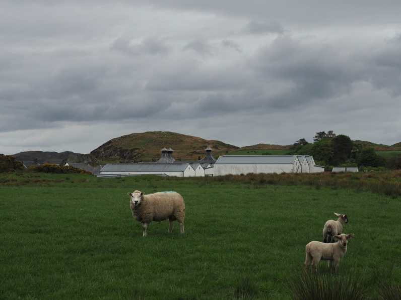 Sheep at Ardbeg