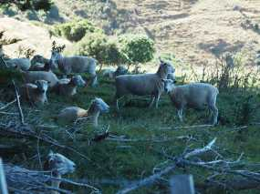 Sheep on Banks Peninsula