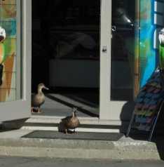 Ducks at an ice cream shop, Akaroa