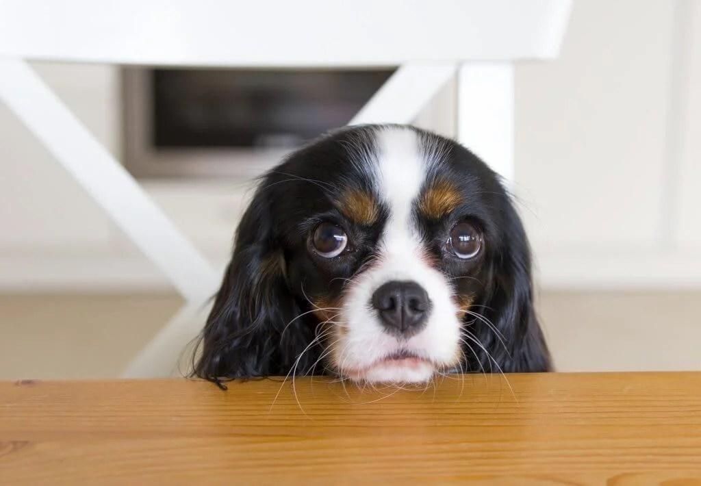 cachorro pedindo comida 1024x710 1024x710 - Como o seu cãozinho adestra você