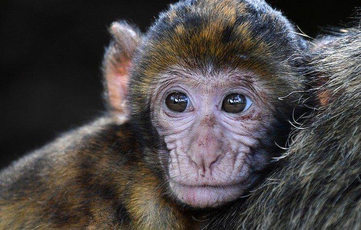 """monkey brain injection resize md - Cientistas injetam e reorganizam """"informações"""" em cérebros de macacos"""