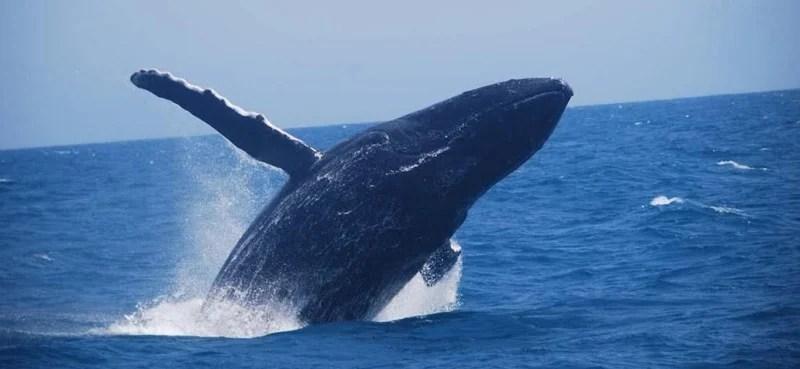 Mistério no Pará: Baleia jubarte aparece no meio da floresta 4