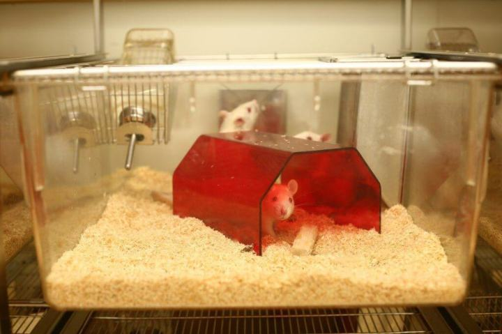 rat 720x479 - Células humanas são usadas para criar ratos mais inteligentes