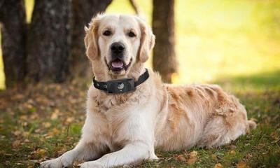 34509961 00 d 620x388 f 0 c 310x194 - Motorola lança coleira inteligente para cães