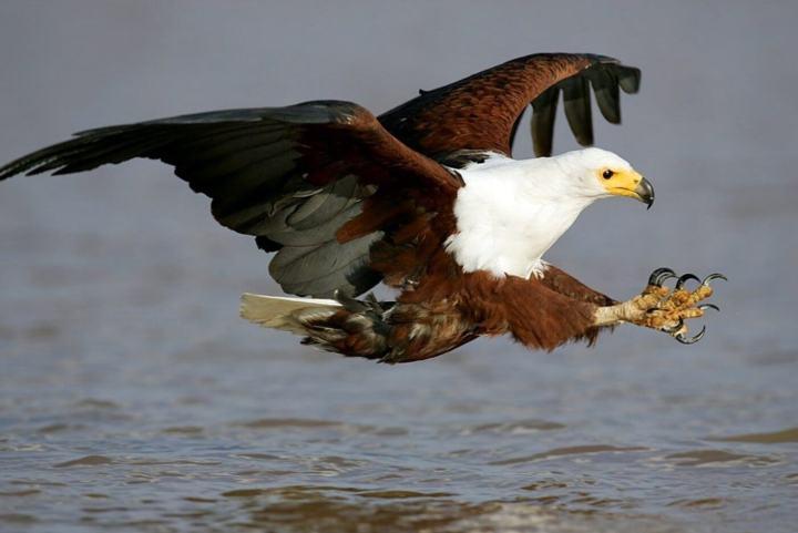 smt drones eagle 2 720x481 - Asas da imaginação! Polícia da Holanda treina águias para capturar drones