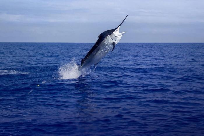 Marlin Azul emerge da água