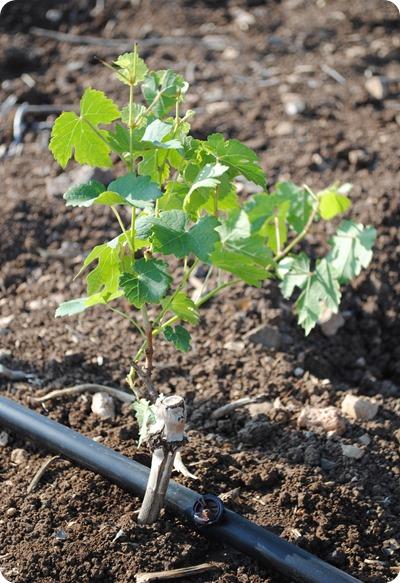 cs planting 117