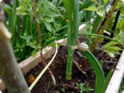 Naples Garlic4