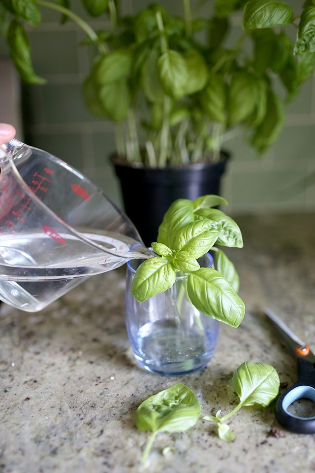 How to Grow Basil From Cuttings - Step 4