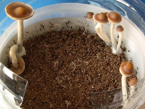 Shroomery Psilocybe Azurescens Indoor Cultivation - Modern Home