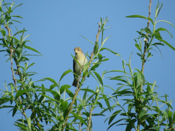 GY_2016_05_12_VP_Willow Warbler_BL