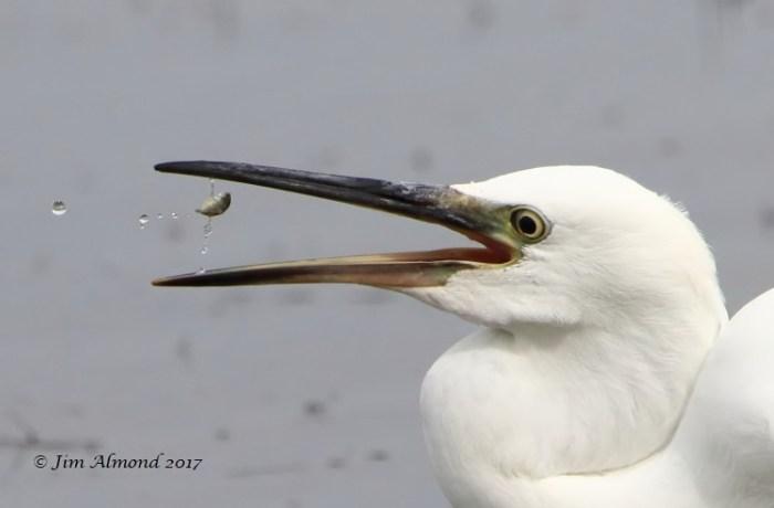 GY_Little Egret fish toss VP 18 7 17_JA