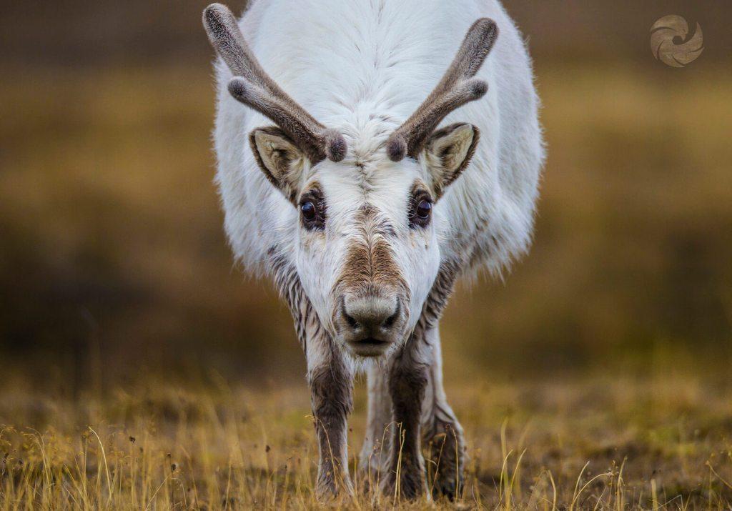 Arctic Svalbard Reindeer