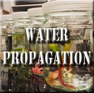 Water Propagation of the Venus Flytrap