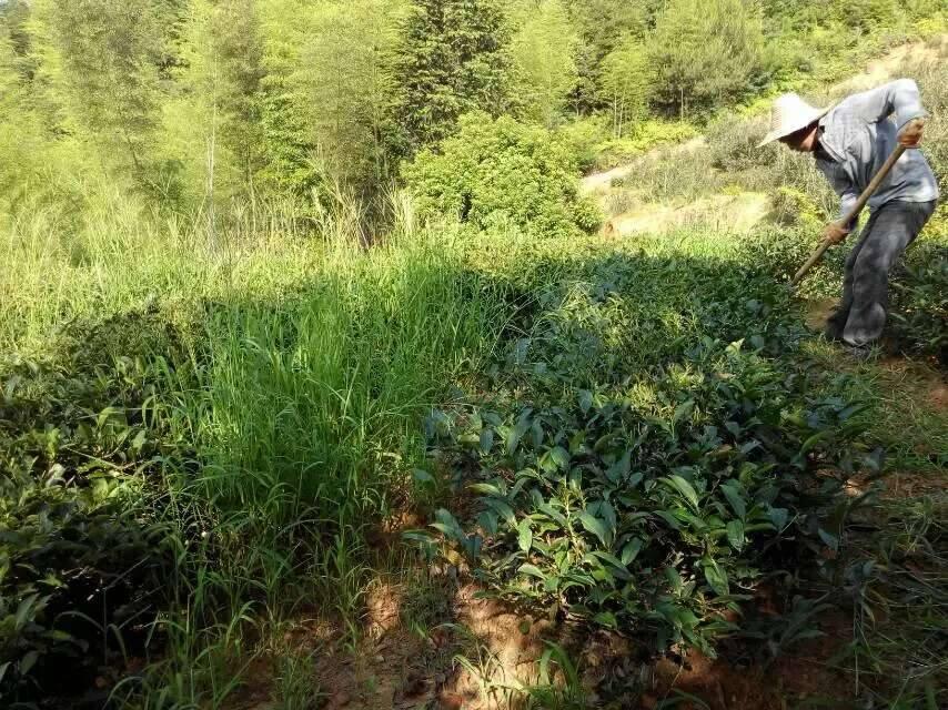Wuyi rock tea garden of the Chen family in Zhengyan area, Wuyishan