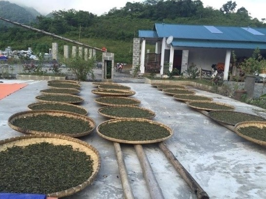 Tea leaves withering outdoor for production of Pai Hao tea in Ha Giang, Vietnam