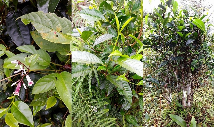 Bolaven Tea Bushes - grown from the seed in their natural biodiverse environment
