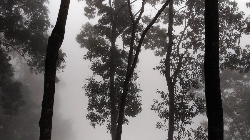 Misty trees on Bolaven Plateau, south Laos