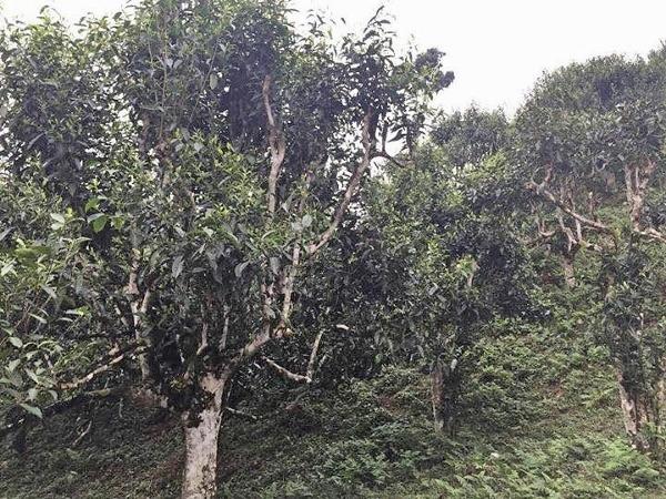 Ancient Snow Shan tea garden, Ha Giang province, Vietnam