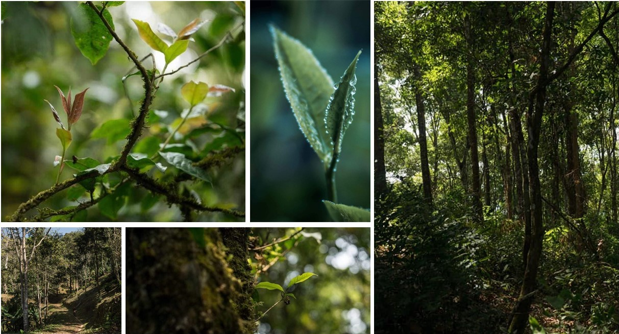 Forest-friendly tea gardens, embedded in northern Thailand's subtropical rain forests