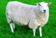 Inilah Bisnis Investasi Terpercaya, Kemitraan Pembibitan Dan Penggemukan Domba