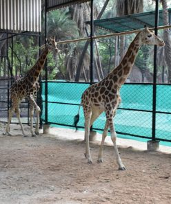 Nehru Zoological Park, Hyderabad, has received one pair of Giraffe namely Sunny (Male – 3 Years, 9 Months old) and Bubli (Female – 2 Years old) from Zoological Garden, Alipore, Kolkata, West – Bengal in Hyderabad