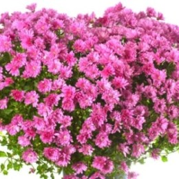 Ragip Dragusha - Malli i luleve (Poezi)