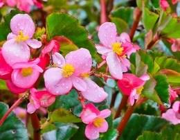 Begonia, lulja me vlera befasuese. Ja per cfare ju sherben ajo.