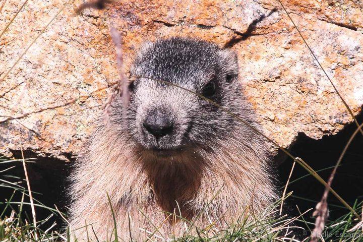 Randonnée Ariège marmotte