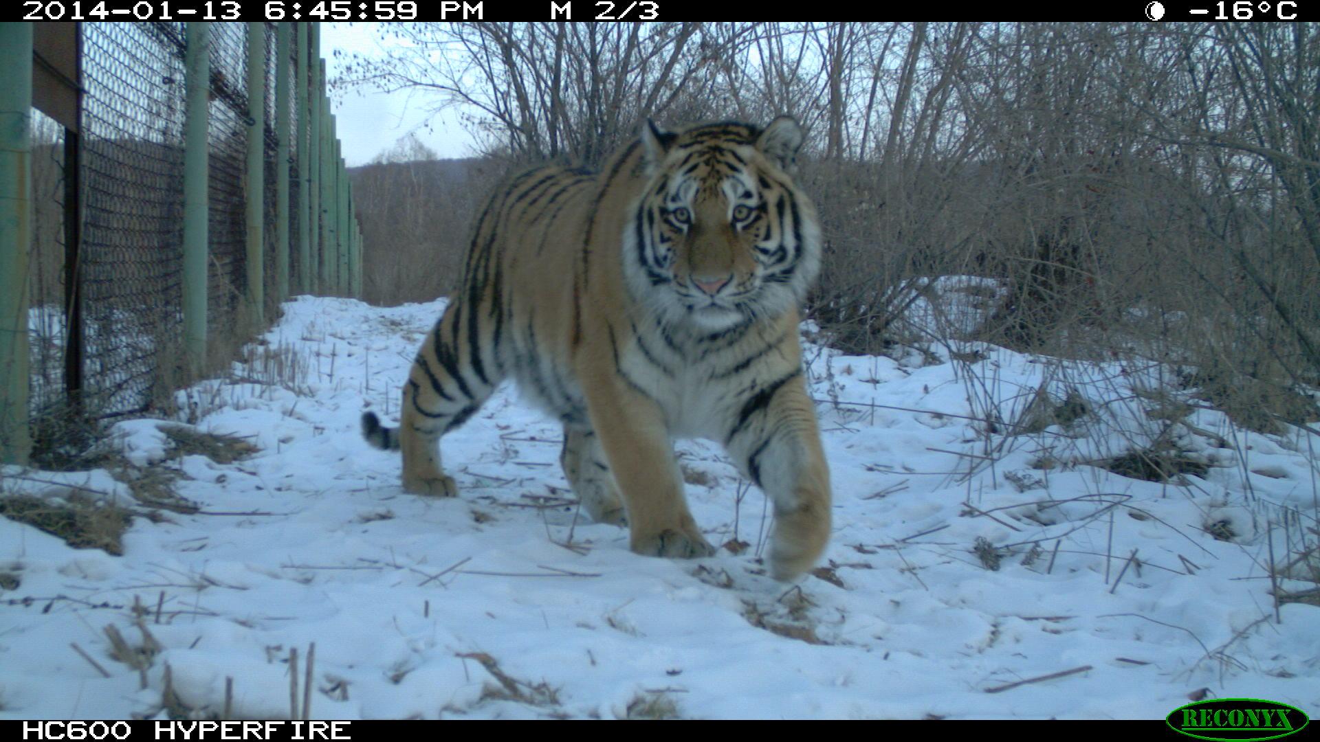 амурская тигрица илона