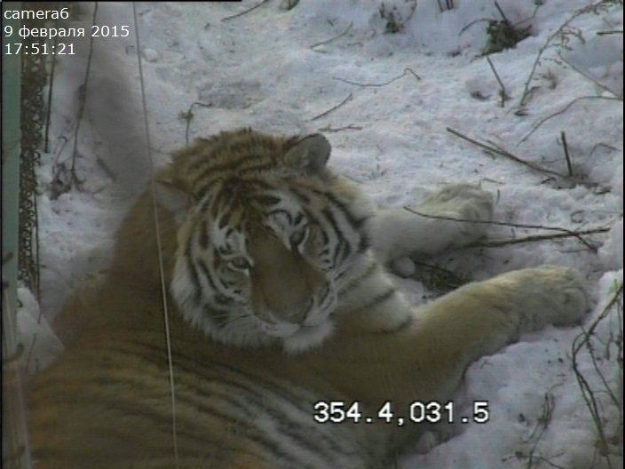 амурский тигр в центре