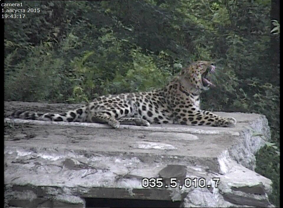 леопард в центре спасения