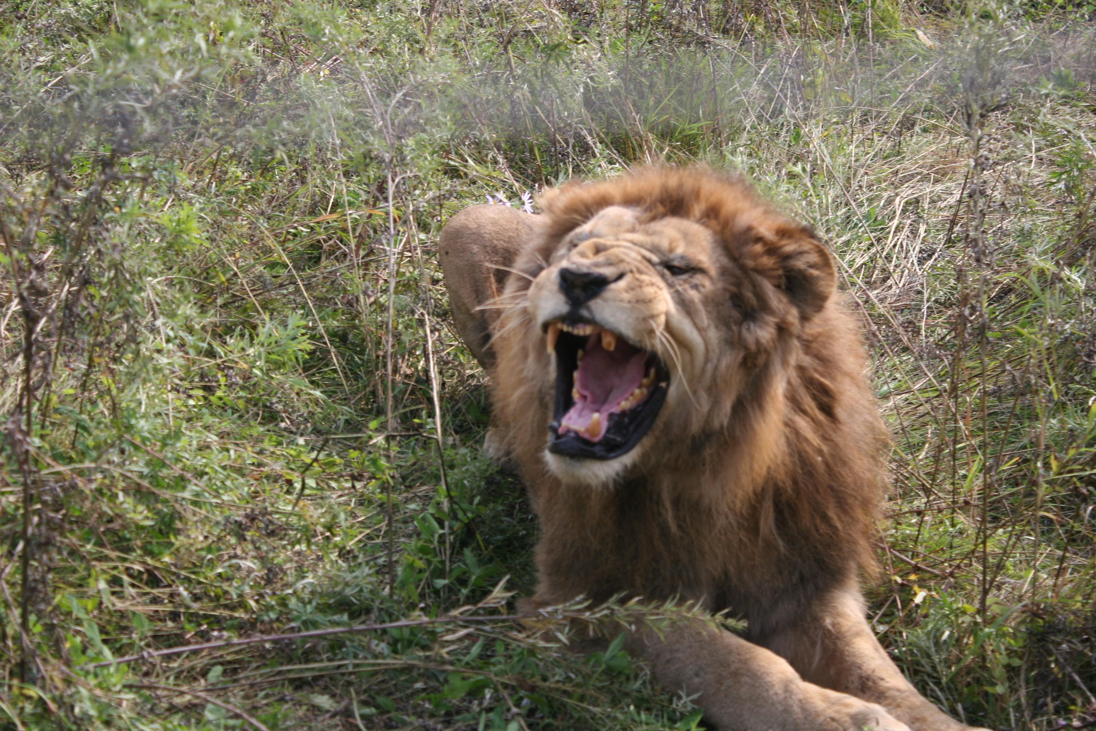африканский лев лучшие фото