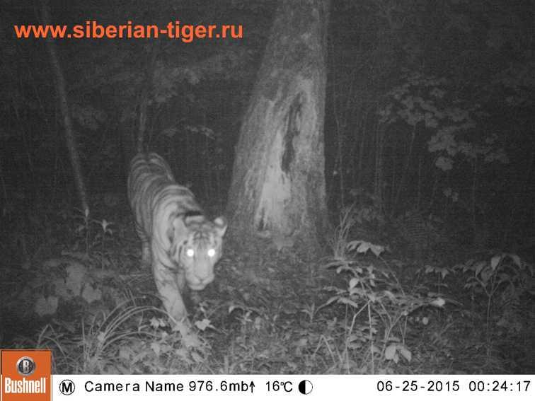 тигра засняли фотоловушкой