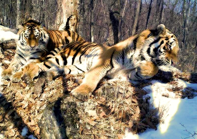 amur_tigers