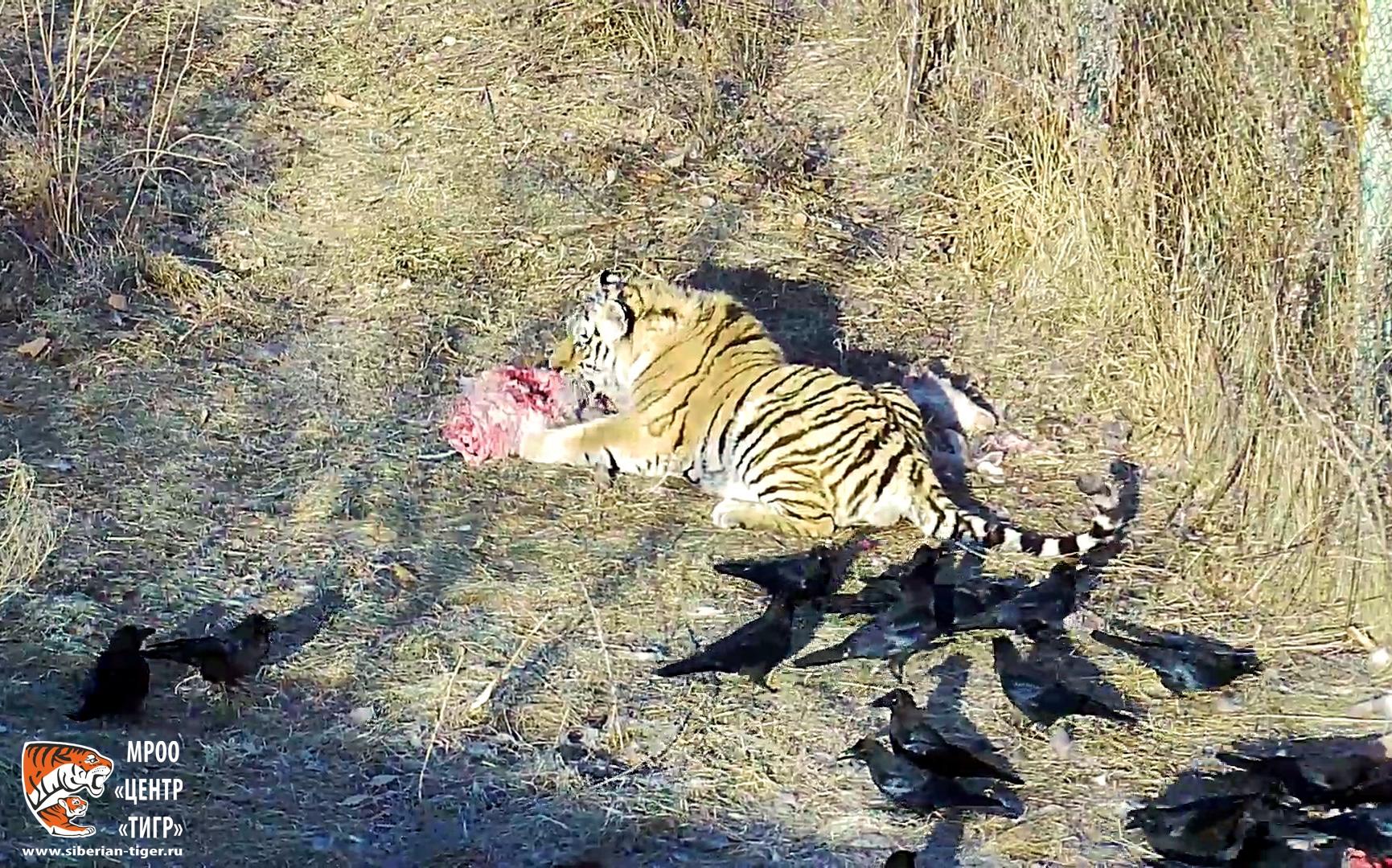 центр тигр